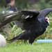 PS_Turkey Vulture Body by JFlewellen