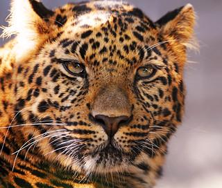 Thoughtful leopard