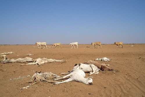 drought leaves dead and dying animals in northen Kenya