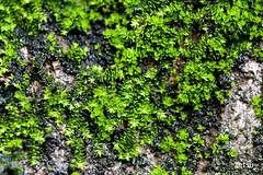 woodland(0.0), shrub(0.0), flower(0.0), garden(0.0), soil(0.0), grass(0.0), tree(0.0), ivy(0.0), lawn(0.0), moss(0.0), leaf(1.0), plant(1.0), flora(1.0), green(1.0), non-vascular land plant(1.0), vegetation(1.0),