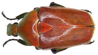 Torynorrhina pilifera (Moser, 1914)