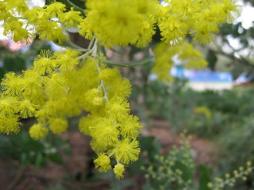 Acacia tree yellow puff blooms