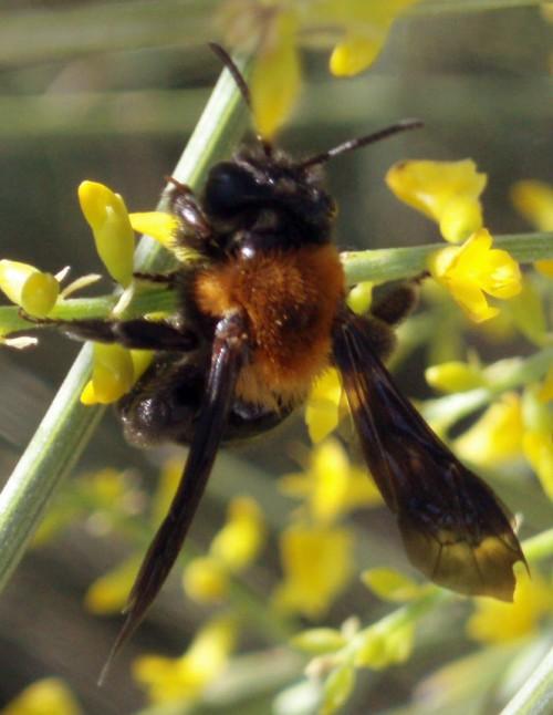 Andrena thoracica 3671603500_533e620d82_o