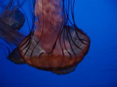 DSC01869-Sea nettle