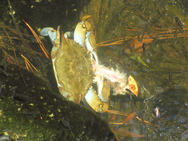 Blue crab eating fish explore birdkid 39 s photos on flickr for Blue crab fishing