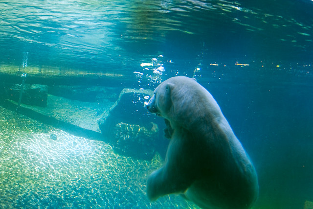 Swimming Polar Bear 1