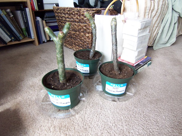 freshly planted plumeria