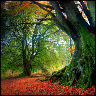 Autumn Beech