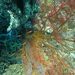 Colorful Coral - Menjangan Island, Indonesia