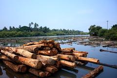 紅木材(Sreejith P Chakkatu攝影)