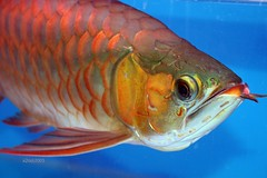 animal, fish, fish, marine biology, red snapper,