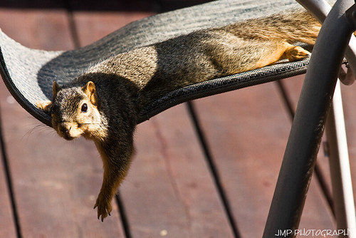 urban cute animal photography rodent furry backyard squirrel michigan wildlife fox foxsquirrel mandj98 jmpphotography jamesmarvinphelps michiganfoxsquirrel riverviewmichigan