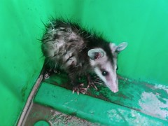 animal(1.0), opossum(1.0), virginia opossum(1.0), possum(1.0), common opossum(1.0), rat(1.0), mammal(1.0), fauna(1.0),