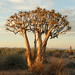 Small photo of Quiver tree, fish river canyon, Namibia