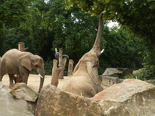 Elefant im Zoo - Dresden  bei vollständiger Windstille 026