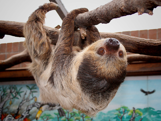 Zweifingerfaultier / Zweizehenfaultier / Unau / Southern Two-toed Sloth (Choloepus didactylus)