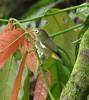 São Tomé White-eye  -  Zosterops ficedulinus feae
