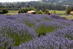 woodland(0.0), prairie(0.0), lavandula stoechas(0.0), bluebonnet(0.0), flower(1.0), field(1.0), english lavender(1.0), lavender(1.0), lavender(1.0), wildflower(1.0), flora(1.0), meadow(1.0), grassland(1.0),