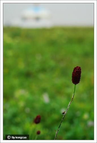 内蒙古植物照片-蔷薇科地榆属地榆