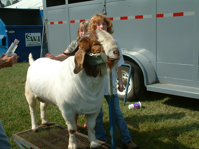 Goat Grooming Stands http://www.flickr.com/photos/whitebuffalobk/3912409235/