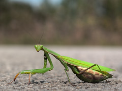 arthropod, locust, animal, cricket-like insect, invertebrate, macro photography, mantis, grasshopper, green, fauna, close-up,