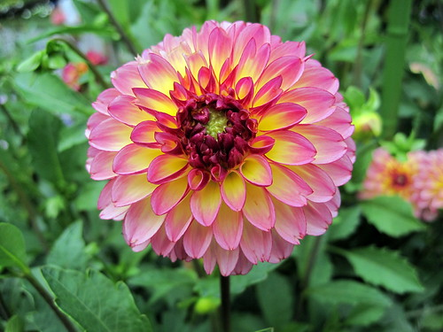 Dahlia in the Walled Garden-China Doll