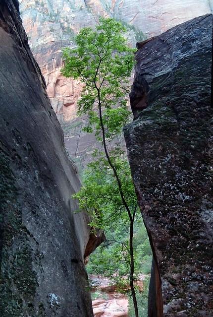 Zion Tree 2