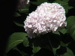 shrub(0.0), lilac(0.0), annual plant(1.0), flower(1.0), hydrangea serrata(1.0), flora(1.0), petal(1.0),
