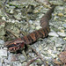 Small photo of Cottonmouth, Agkistrodon piscivorus