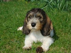 dog breed, animal, puppy, dog, schnoodle, petit basset griffon vendã©en, lã¶wchen, polish lowland sheepdog, tibetan terrier, havanese, spaniel, cockapoo, cavapoo, carnivoran,
