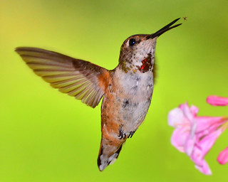 Rufous Hummingbird catching an insect