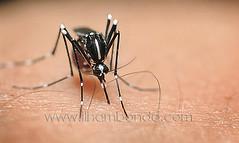 arthropod, animal, mosquito, invertebrate, macro photography, fauna, close-up, pest,