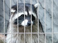 animal, raccoon, mammal, fauna, animal shelter, whiskers, procyon,