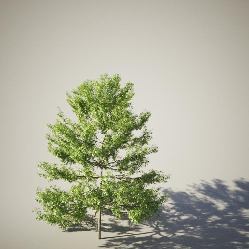 White Oak 01