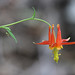 Columbines - Photo (c) Steve Berardi, some rights reserved (CC BY-SA)