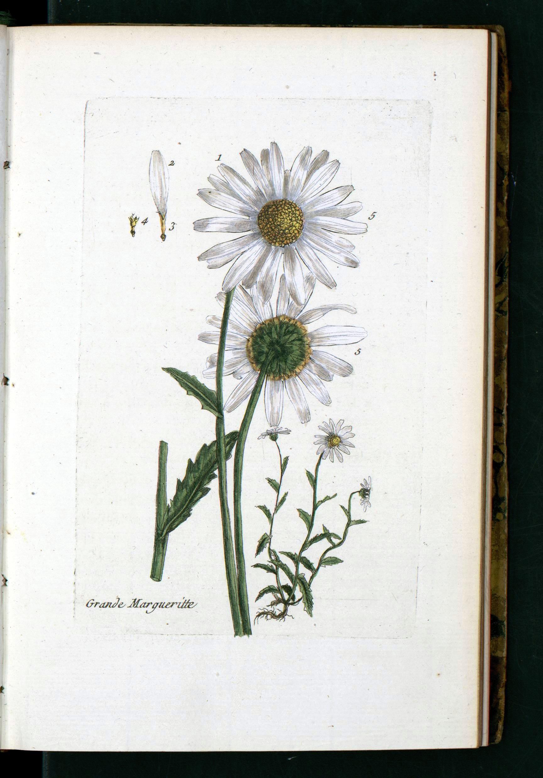 la flore des environs de paris21 daisy
