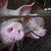Granjas de cerdos | Pig farms