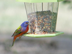 Painted Bunting Male 1