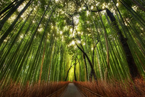 Photo of a Bamboo forest in Kyoto.
