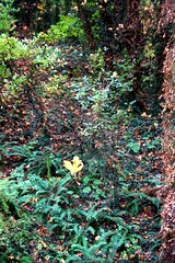 falling leaf    MG 8733