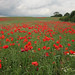 poppy field  by lizjones112