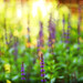 Lavender garden by johnkalad