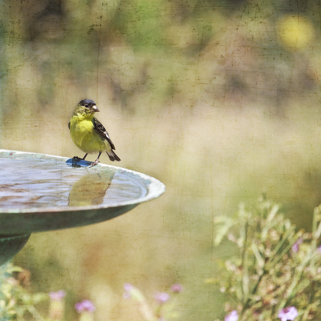 A Yellow Bird Upon a Fountain
