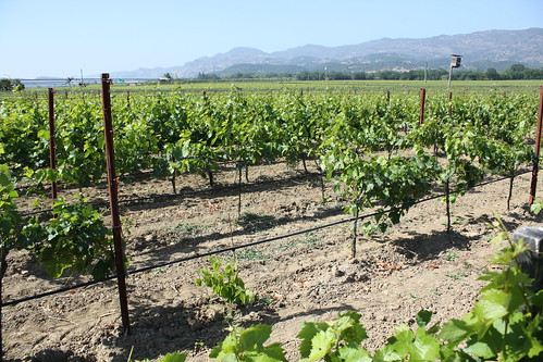 Zinfandel Vineyard