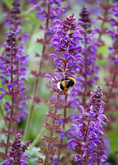 nectar(0.0), lavandula stoechas(0.0), hyssopus(1.0), honey bee(1.0), flower(1.0), purple(1.0), english lavender(1.0), plant(1.0), lavender(1.0), lilac(1.0), lavender(1.0), macro photography(1.0), membrane-winged insect(1.0), wildflower(1.0), flora(1.0), bee(1.0),