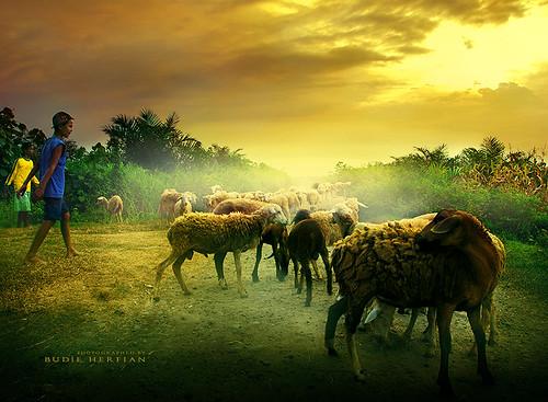 nature animal photoshop lamb backhome walkinghome domba northsumatra batangkuis deliserdang teukujody