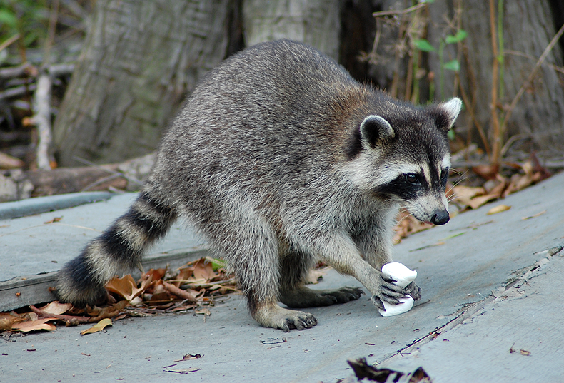 raccoon eating a marshmallow | Flickr - Photo Sharing! Raccoon With Mange