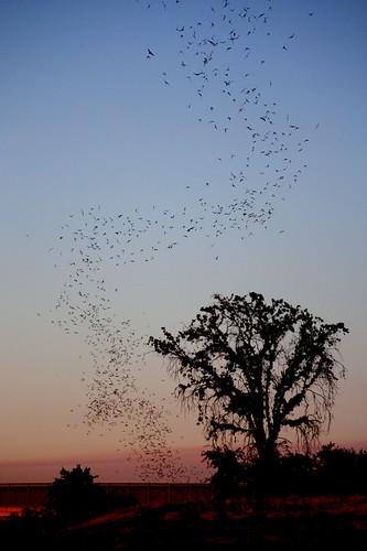 sunset nature railyard bats placercounty roseville challengeyouwinner