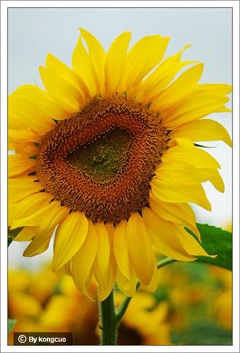 内蒙古植物照片-菊科向日葵属向日葵