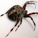 Spotted Orbweavers - Photo (c) John, some rights reserved (CC BY-SA)
